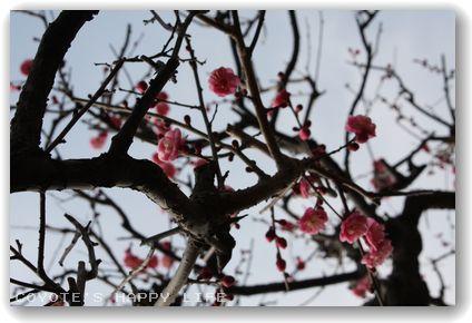 庭の紅梅.JPG